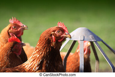 Feeding Brown Hens - Brown outdoor free-range hens set on a...