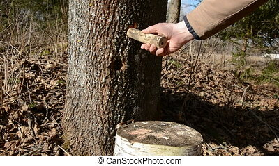 hammer in maple wooden tap for sap - hammer in maple wooden...