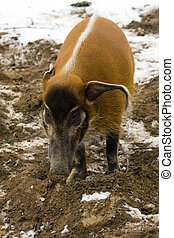 Red river hog (Potamochoerus porcus) in winter