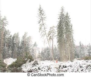 fir tree cut fall ground