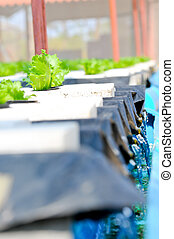 Hydroponics vegetable , nutrition of food in the future