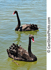 Wildlife and Animals - Black Swan - Two black swans are...