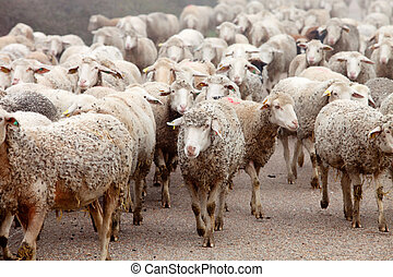 Flock of sheep with the wool very dirty
