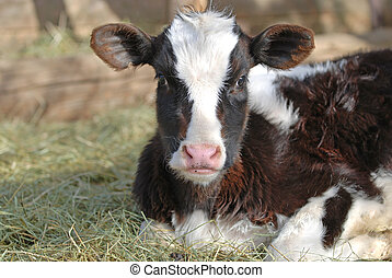 Holstein Dairy Calf - Holstein dairy calf laying down in the...