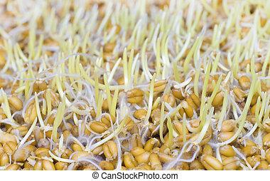 trigo,  sprouted, grãos