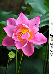 Blossom lotus flower and honeybee