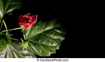 Blooming red roses on a black background (Hibiscus...