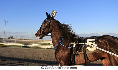 Standardbred Pacer Gelding - Standardbred pacer at the...