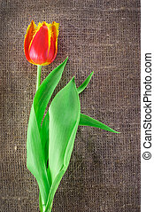 Spring tulip flower isolated on linen canvas background