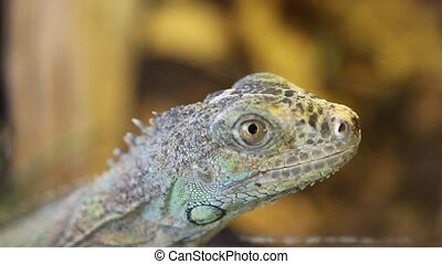 lizard : green iguana - scientific name : Iguana iguana