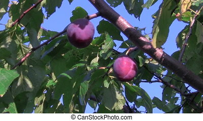 plums - two plums on a branch