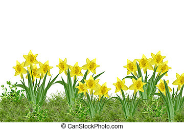 daffodils - wonderful garden with bunch of daffodils