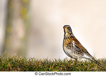 Fieldfare Turdus pilaris - Fieldfare sitting in the grass...
