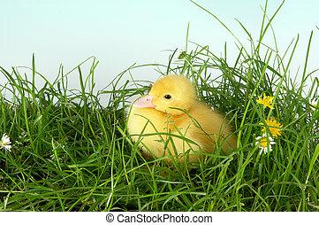 Sitting duck in grass