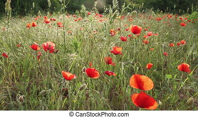 Poppy field - Beautiful landscape with Poppy flowers