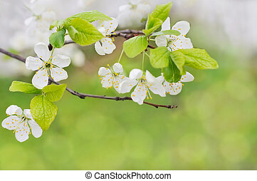 spring flowers - white spring flowers on a tree branch over...