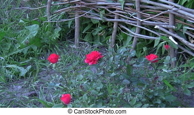 red roses - young red roses, decorative fence