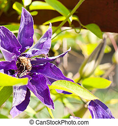 Clematis in bloom - Bee is pollinate a violet clematis...