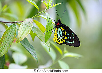 A Male Cairns Birdwing Butterfly Perched on  a leaf.