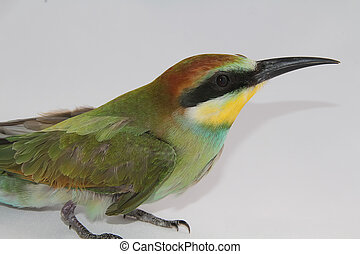 nice colorful bee-eater