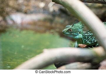 Basiliscus plumifrons - Green crested basilisk peeking...