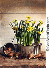 Potted daffodils wirh bulbs for planting - Potted daffodils...