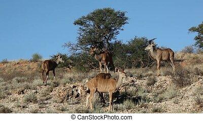 Kudu antelopes - Group of kudu antelopes (Tragelaphus...