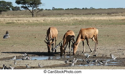 Red hartebeest and doves