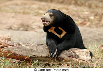 sun bear - malayan sanbear the smallest bear in the world