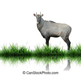 nilgai isolated