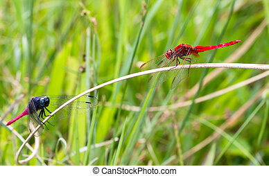 Dragonfly stand off - Dragonflies looking at each other on...