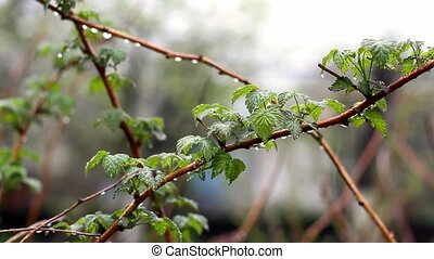 Summer Raindrops - Raindrops on the Branches During Summer...