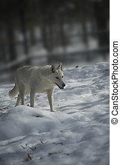 White Wolf - White wolf going for a winter walk