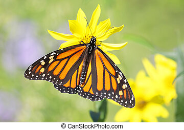 Monarch Butterfly (danaus plexippus) on Woodland Sunflowers...