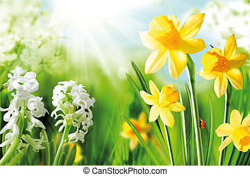 Cheerful Spring Bulbs. Background of flowering white...