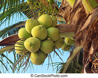 Clusters of coconuts