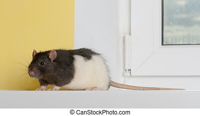 rat on a window sill - domestic rat on a window sill close...