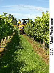 Harvesting Grapes in a vineyard near Sutton Forest, on the...