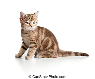 A playful kitten British breed Tabby
