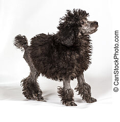 Poodle in front of white background