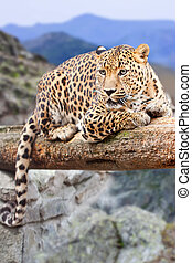 leopard at wildness area - leopard on wood at wildness area...