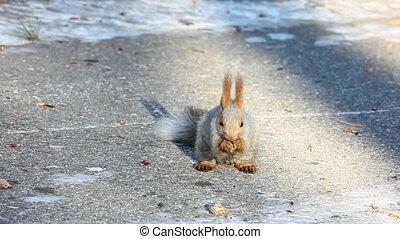 Squirrel. - Squirrel eating sunflower seeds.