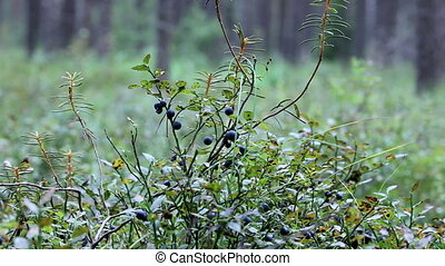 blueberries - forest blueberries in nature