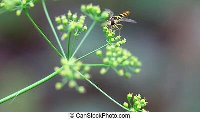 Fly - Fly takes nectar at flowering dill, macro