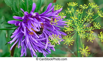Bumblebee. - Bumblebee on a aster flower.