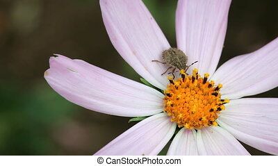 Bug. - Grey Bug at the Cosmos flower.