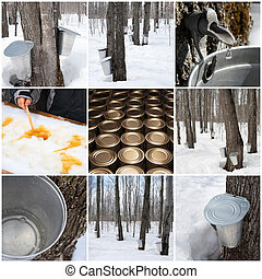 Maple syrup production in Quebec, Canada Spring forest and...