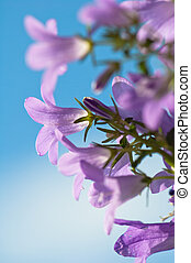 flowers campanula on a background of the blue sky -...