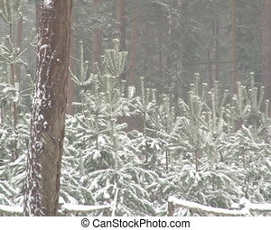 fir tree plants winter - Christmas fir tree plants in forest...