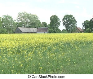 houses oilseed rape field - Rural house near blossom oilseed...